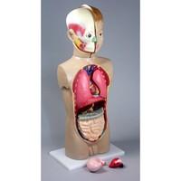 Модели из пластмассы по анатомии Торс человека (65 см.)
