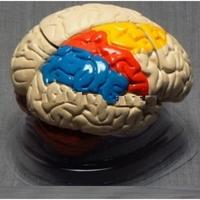 Модели по анатомии Мозг в разрезе (раскрашенный)
