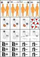 Модели по анатомии Модель-аппликация Наследование резус-фактора