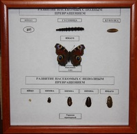 Коллекции Развитие насекомых с полным превращением