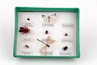 Коллекции Представители отряда насекомых