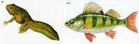 Модель-аппликация Модель-аппликация Цикл развития костной рыбы и лягушки