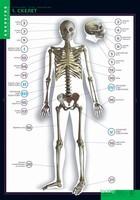 Таблицы Комплект таблиц Строение тела человека (к-т из 10 шт+80 карт)