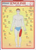 Английский язык Раздаточная таблица Английский в картинках Часть 25. Тело