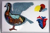 Модели по зоологии Внутреннее строение голубя