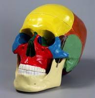 Пластмассовые кости скелета человека Череп человека с раскрашенными костями