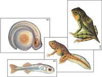"""Модель-аппликация Модель-аппликация """"Развитие костной рыбы и лягушки"""" (ламинированная)"""