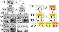 Модели по анатомии Модель-аппликация Неполное доминирование и взаимодействие генов