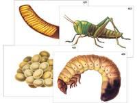 Модель-аппликация Модель-аппликация Развитие насекомых с полным и неполным превращением