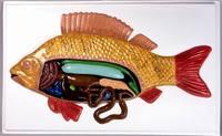 Модели по зоологии Внутреннее строение рыбы