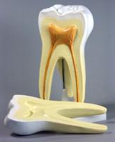 Модели по стоматологии Строение зуба