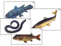 Модель-аппликация Модель-аппликация Многообразие хордовых. Рыбы, земноводные и пресмыкающиеся