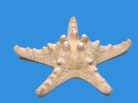 Коллекции Сухой препарат Звезда морская