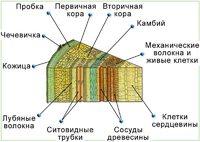 Барельефные модели Клеточное строение стебля