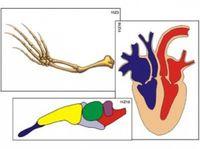 Модель-аппликация Модель-аппликации Эволюция систем органов беспозвоночных животных