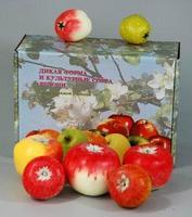 Муляжи Набор муляжей Дикая форма и культурные сорта яблок
