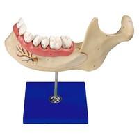 Модели по стоматологии Челюсть разборная
