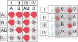 Модели по анатомии Модель-аппликация Переливание крови. Определение группы крови (двухслойная)