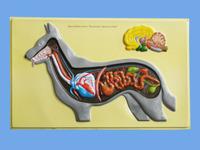 Модели по зоологии Внутреннее строение собаки