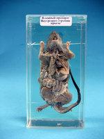Влажные препараты  Влажный препарат Внутреннее строение крысы