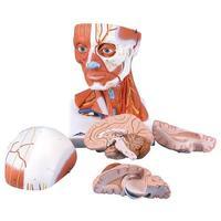 Мускулатура Модель мускулатуры головы и шеи, 5 частей