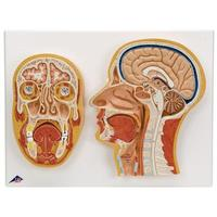 Голова Модель срединного и фронтального сечения головы