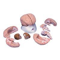 Мозг Модель мозга, 8 частей