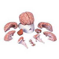Мозг Модель мозга с артериями,  9 частей