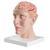 Мозг Мозг с артериями в основании черепа, 8 частей