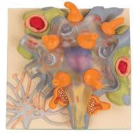 Нервная система Учебное пособие «Тело нервной клетки»