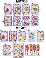Модели по анатомии Модель-аппликация Деление клетки. Митоз и мейоз