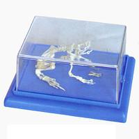 Модели по зоологии Скелет лягушки