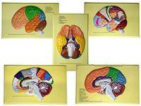 Барельефные модели Доли, извилины, цитоархитектонические поля головного мозга (5 планшетов)
