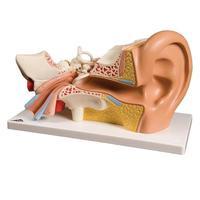 Ухо, горло, нос Модель уха, 3-кратное увеличение, 4 части