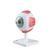 Глаза Модель глаза, 5-кратное увеличение, 6 частей