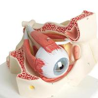 Глаза Модель глаза, 3-кратное увеличение, 7 частей