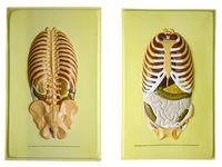 Барельефные модели Расположение органов брюшной полости (2 планшета)
