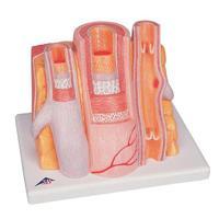 Легкие Модель артерии и вены 3B MICROanatomy™
