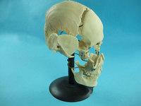 Пластмассовые кости скелета человека Кости черепа (смонтированный на одной подставке)