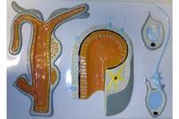 Модели по зоологии Внутреннее строение гидры