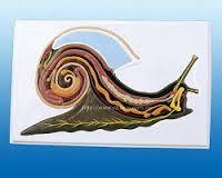 Модели по зоологии Внутреннее строение брюхоногого моллюска