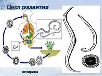 Модель-аппликация Модель-аппликация Цикл развития аскариды