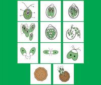 Модель-аппликация Модель - аппликации Размножение одноклеточной водоросли