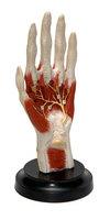 Модели из пластмассы по анатомии Кисть с прилегающими мышцами и нервами