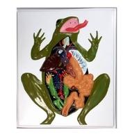 Модели по зоологии Внутреннее строение лягушки