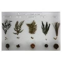 Коллекции Голосемянные растения