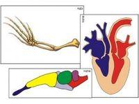 Модель-аппликация Модель-аппликации Эволюция систем органов позвоночных животных