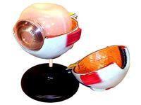Модели по анатомии Глаз человека (лабораторный)