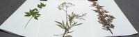 Гербарии Ядовитые растения (20 видов)