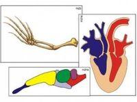 Модель-аппликация Эволюция важных систем организма позвоночных животных
